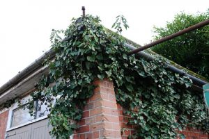 ivy on house and in gutters